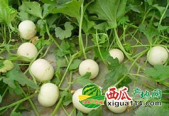 2016陕西大荔甜瓜大量上市了-甜瓜产地-基地批发价格