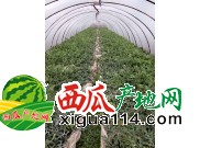2017云南昆明大量麒麟瓜批发产地价格代办