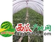2017年云南昆明麒麟瓜西瓜代办产地批发