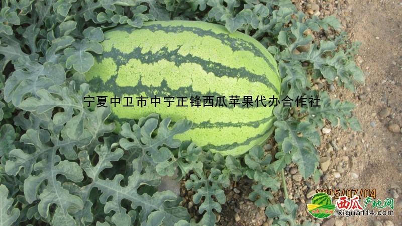 2017年宁夏中卫硒砂瓜批发产地,宁夏石头瓜中卫西瓜代办