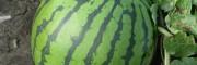 花無籽西瓜(gua)