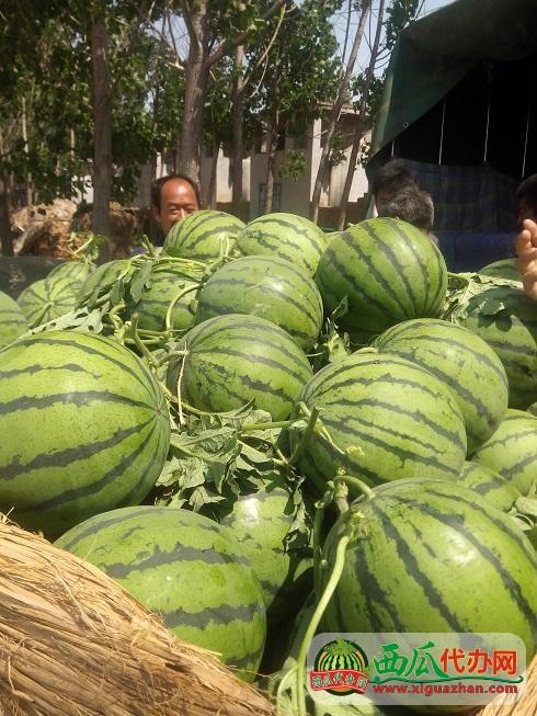 山东东明冠龙西瓜代办批发产地-全国重要的商品西瓜生产地