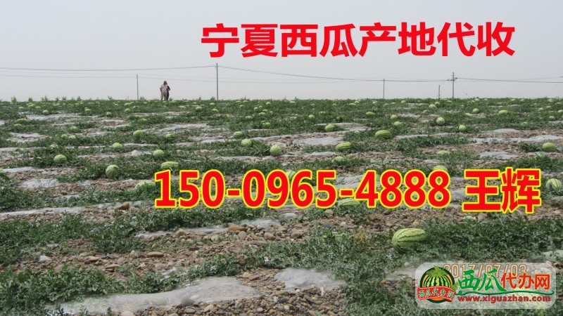 宁夏中卫西瓜价格硒砂瓜产地15009654888