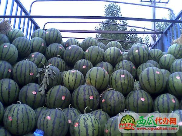 安徽砀山万亩西瓜代办:京欣西瓜西瓜上市价格