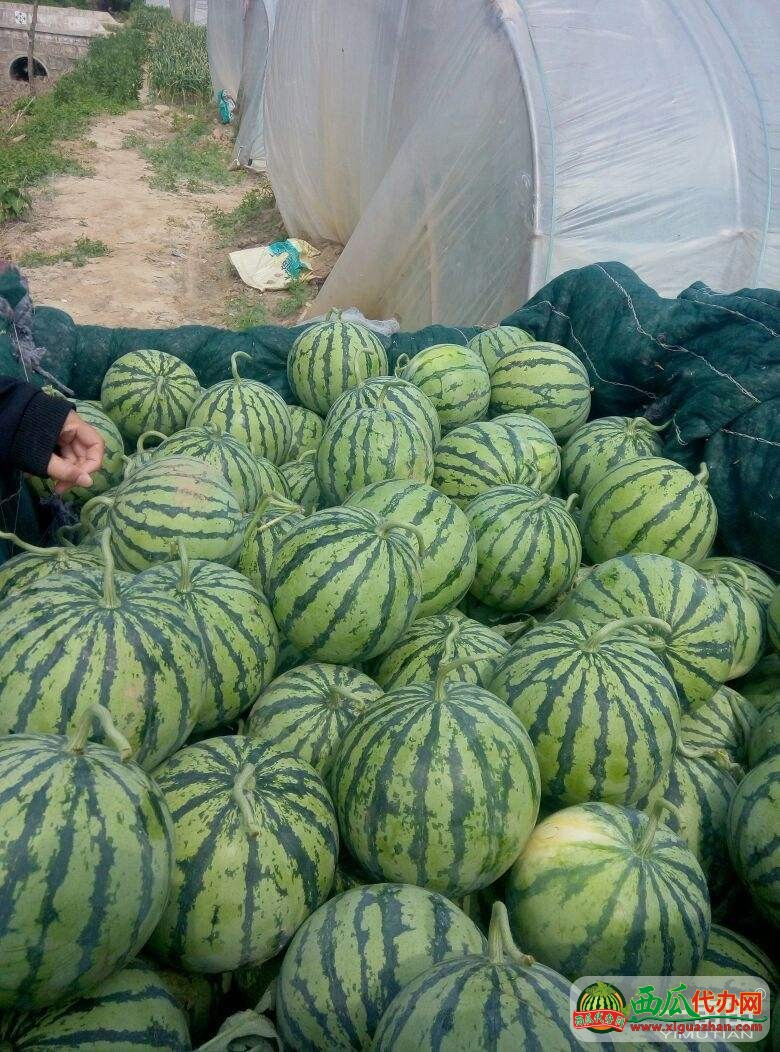 安徽固镇代办批发价格-石湖露天西瓜即将大量上市