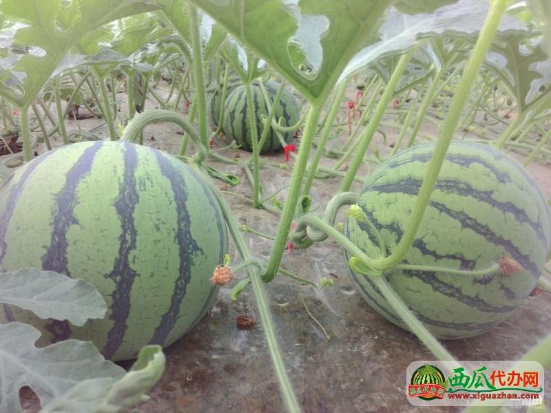 江苏新沂西瓜产地代办今年的花皮无籽西瓜非常甜很畅销