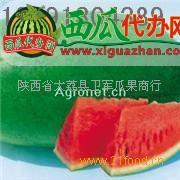 陕西大荔特大新红宝西瓜产地上市价格