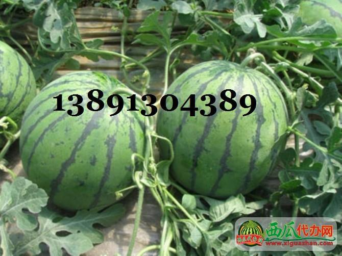 陕西万亩大棚甜王西瓜产地近期价格