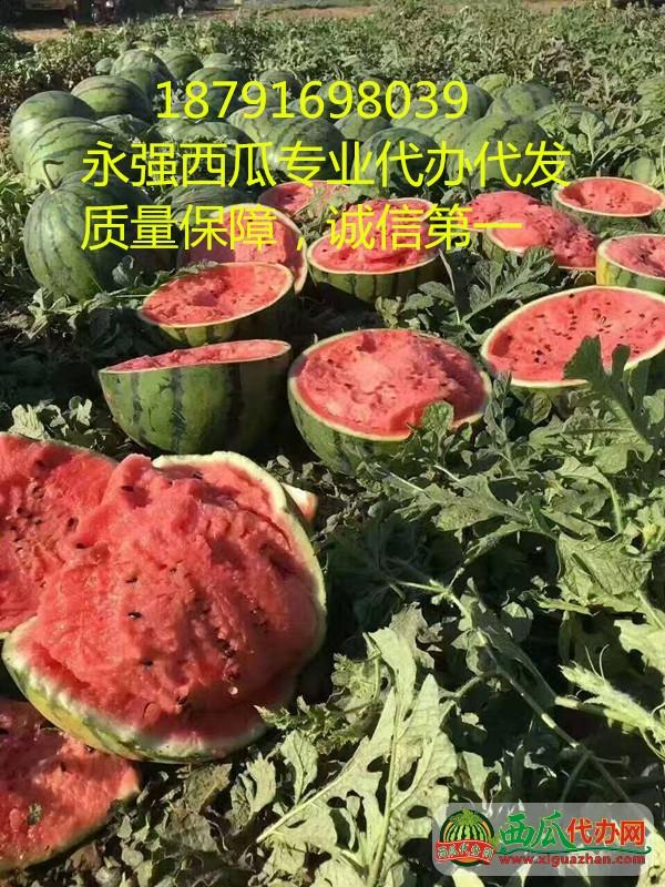 陕西大棚京欣7毛每斤陕西甜王西瓜0.8元每斤