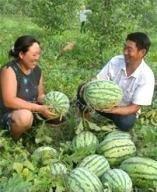 忻州万亩西瓜产地山西西瓜基地