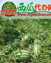山西西瓜代办万亩沙地西瓜大量出售