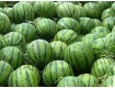 山西西瓜种植基地西万亩旱地瓜