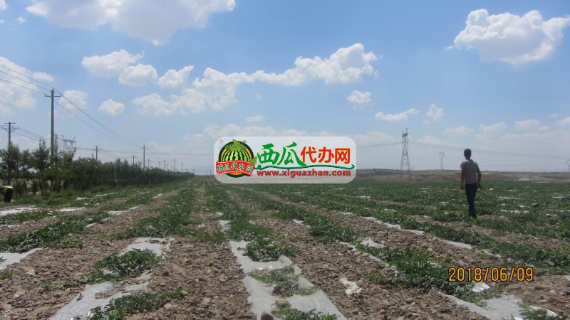 宁夏中宁硒砂瓜代办代收-中卫西瓜产地150-0965-4888