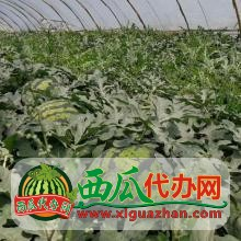 辽宁省西瓜代收代办代发.辽宁西瓜价格-水果供应