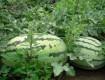 砀山西瓜种植基地,砀山哪里有西瓜可以批发
