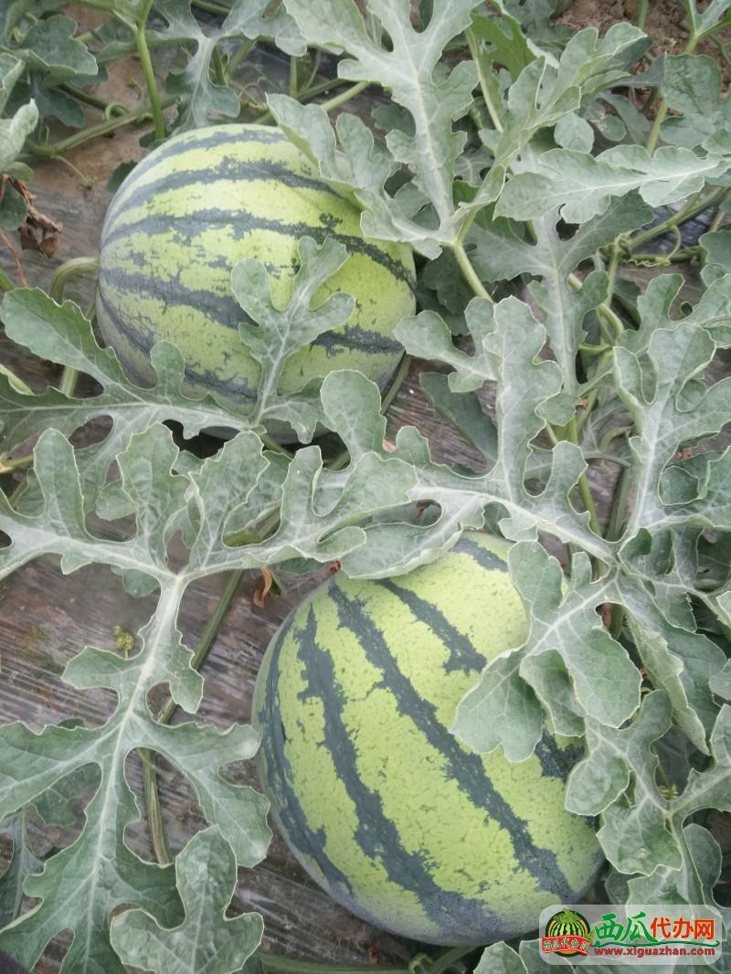 江苏美都无籽西瓜代办种植基地,西瓜批发基地