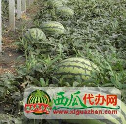供应辽宁凌海大棚西瓜 品种甜王及各各品种
