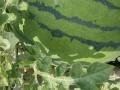 2019山◐潍坊青州水甜◐价格产地行情【山◐潍坊水甜◐替●】