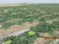 宁夏中宁水甜◐替●产地价格@宁夏石头瓜沙漠瓜产地