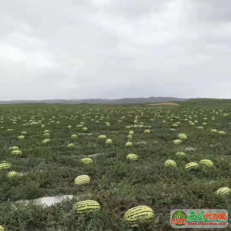 2019年内蒙沙漠瓜大量供应长花瓜~地雷瓜~专业产地代办电话