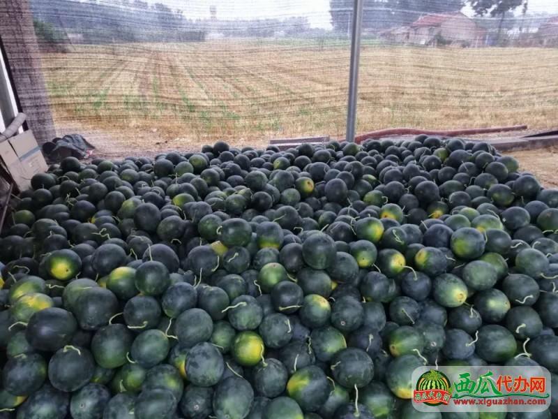 山东潍坊西瓜代办产地供应墨童西瓜无籽西瓜耐运输
