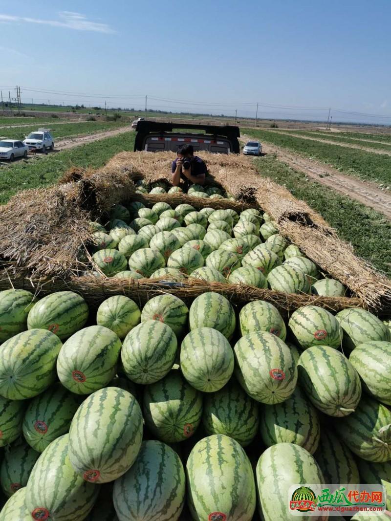 新疆吐鲁番西瓜代办批发产地,新疆西瓜价格供应基地