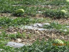 2021年宁夏中卫西瓜代办硒砂瓜12-15斤价格多少钱一斤打